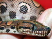 Brazilian Rainbow Boa Closeup head Shot - Showing Heat Vents