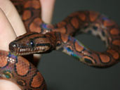 Brazilian Rainbow Boa Hatchling being handled