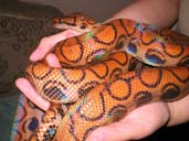 Adult Brazilian Rainbow Boa being handled