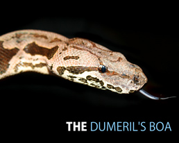 THE DUMERIL'S BOA DESKTOP WALLPAPER