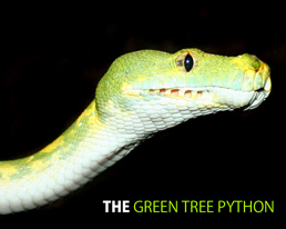 The Green Tree Python Limited Edition Desktop Wallpaper